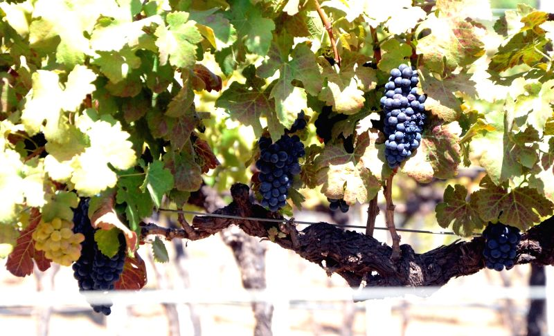 "A view of grapevine plant at ""Indian Wine Festival""  jointly organised by ""Indian Grapes Harvest"" and Maharashtra Tourism Development Corporation (MTDC) in Nasik on Feb 10, ..."