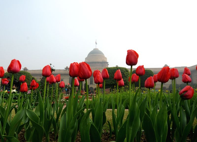 A view of red tulips at the Mughal Gardens of Rashtrapati Bhavan during its press preview in New Delhi, on  Feb 2, 2019.
