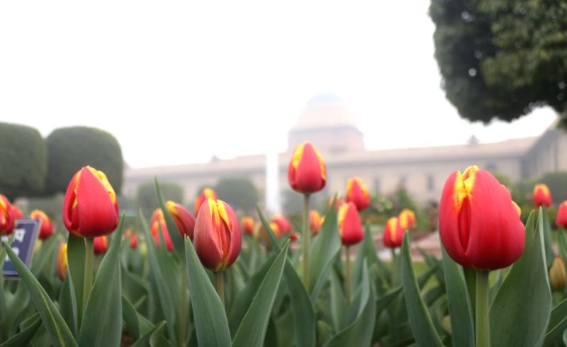 A view of tulip flowers at the Mughal Gardens of Rashtrapati Bhavan during its press preview in New Delhi, on  Feb 2, 2019.