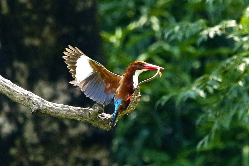 A white-throated kingfisher also known as the white-breasted kingfisher hunts a snake from a pond in Dhaka on May 24, 2016.