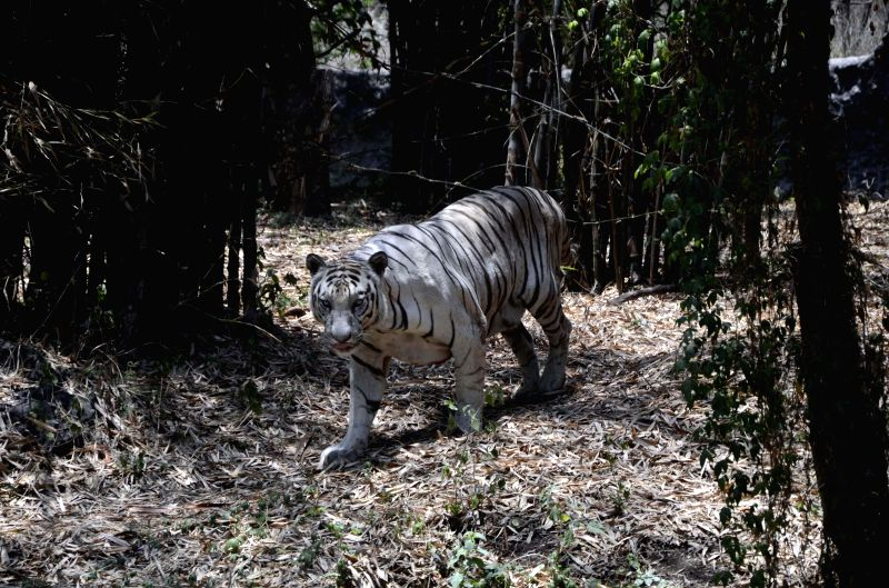 A white tiger at Rajiv Gandhi Zoological Park in Pune on May 12, 2014.