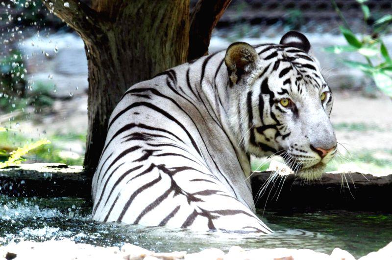 A white tiger beats the heat at its enclosure in Sanjay Gandhi Jaivik Udyan, Patna on May 7, 2017.