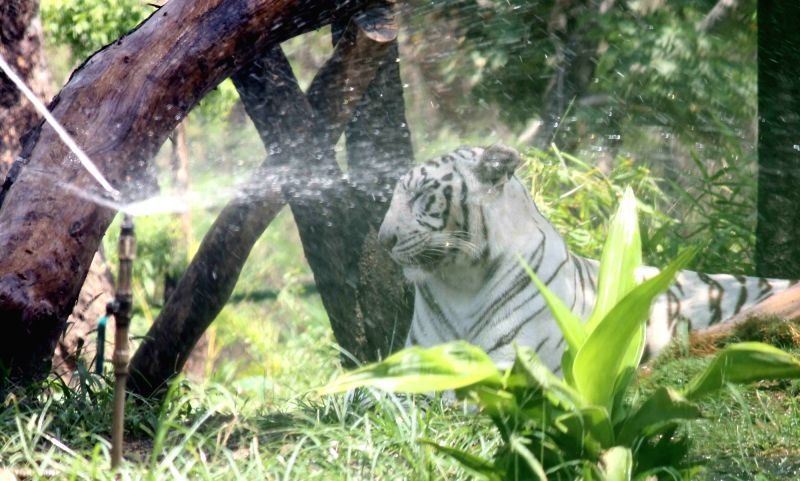 A white tiger cools itself in front of a water sprinkler at Nehru Zoological Park in Hyderabad on March 25, 2017.