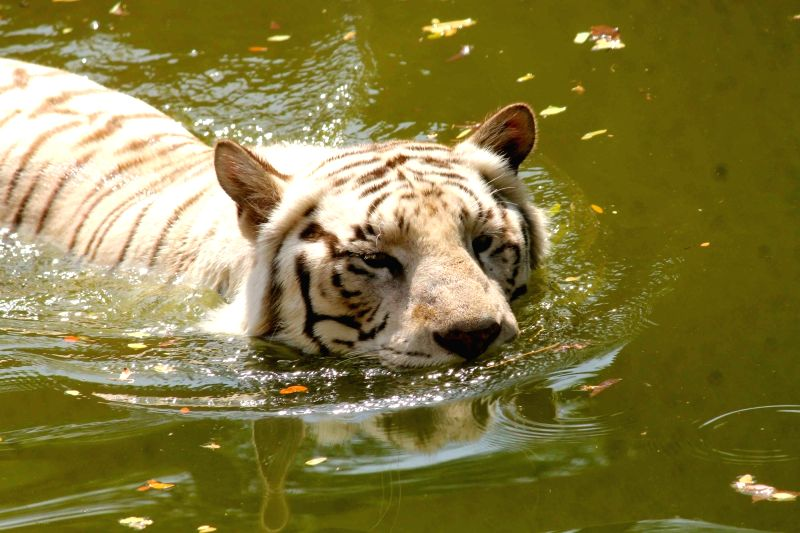 A white tiger resting in the water tank to protect itself from heat at Nehru Zoological Park in Hyderabad on March 25, 2017.