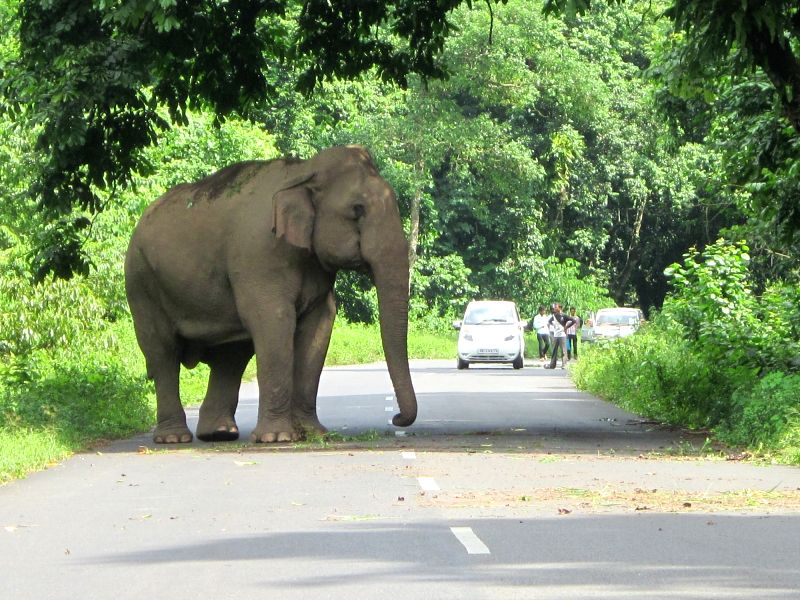 A wild elephant blocks NH31 near Highway Gorumara forest at Jalpaiguri District of West Bengal on June 2, 2016.