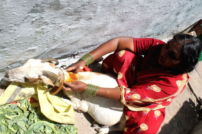 A woman applies turmeric on the wounds of her goat who was injured as two groups clashed in Kishanbagh area of Hyderabad on May 14, 2014.