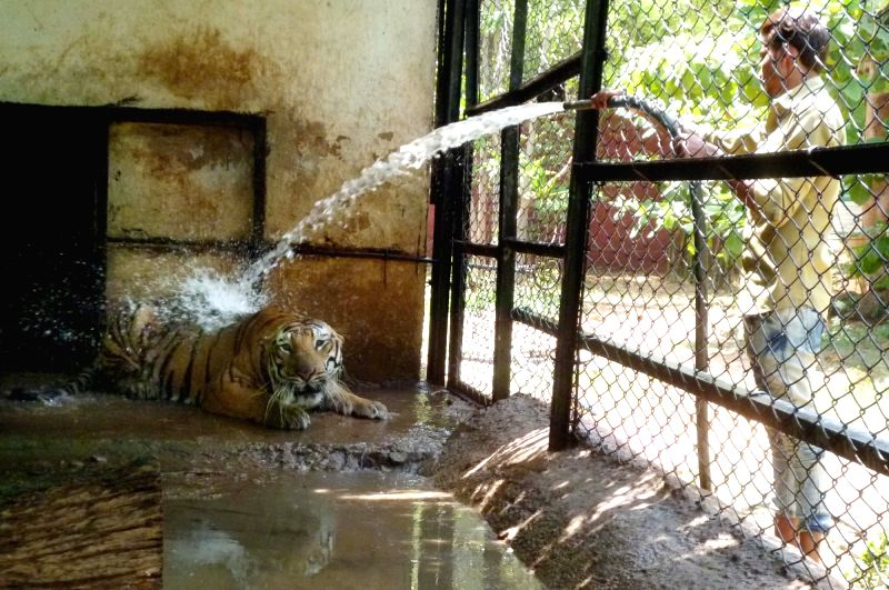 A zookeeper sprays water from a hose pipe on a Royal Bengal tiger to protect itself from heat at Nehru Zoological Park in Hyderabad on March 25, 2017.