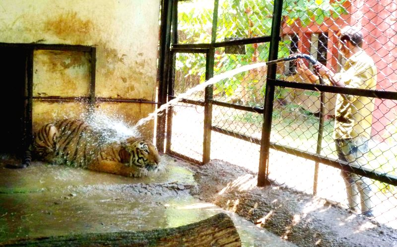 A zookeeper sprays water from a hose pipe on a Royal Bengal tiger to protect itself from heat at Nehru Zoological Park in Hyderabad on May 17, 2017.