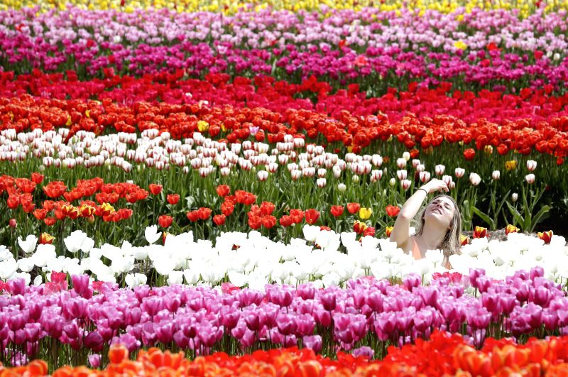 ABBOTSFORD, May 5, 2017 - A visitor enjoys herself with the blooming tulips at the Abbotsford Tulip Festival in Abbotsford, Canada, May 4, 2017. About 1.5 million blooming tulips blanketed over the ...