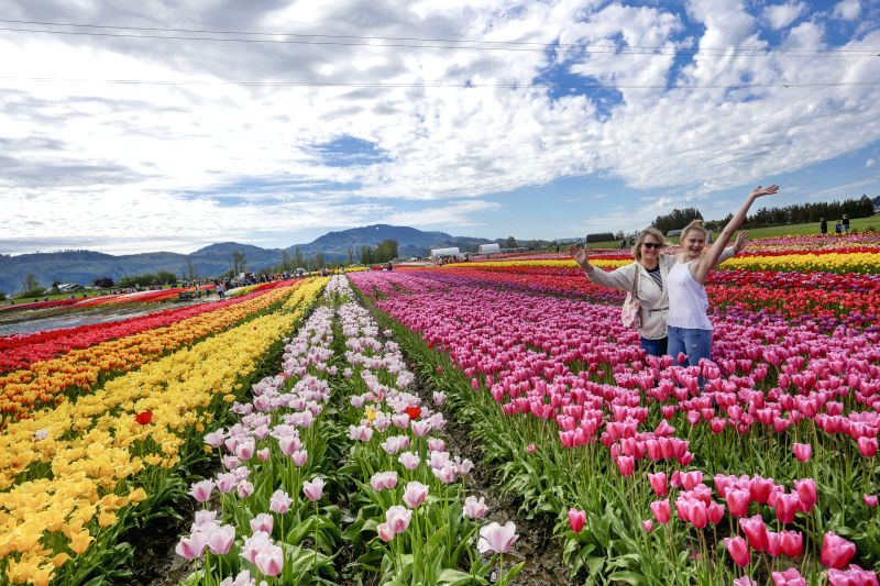 ABBOTSFORD, May 5, 2017 - Visitors stand among the blooming tulips at the Abbotsford Tulip Festival in Abbotsford, Canada, May 4, 2017. About 1.5 million blooming tulips blanketed over the farm land ...