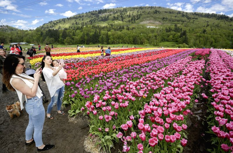 ABBOTSFORD, May 5, 2017 - Visitors take pictures of the blooming tulips at the Abbotsford Tulip Festival in Abbotsford, Canada, May 4, 2017. About 1.5 million blooming tulips blanketed over the farm ...