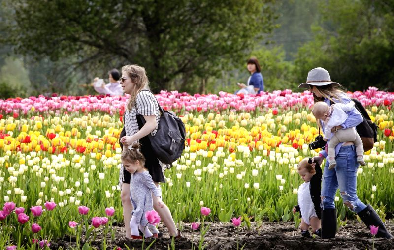 ABBOTSFORD, May 5, 2017 - Visitors walk through rows of tulips at the Abbotsford Tulip Festival in Abbotsford, Canada, May 4, 2017. About 1.5 million blooming tulips blanketed over the farm land ...