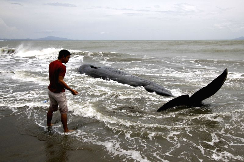 ACEH, Aug. 4, 2016 - A man watches a whale carcass on Alue Naga Beach, Banda Aceh, Indonesia, Aug. 4, 2016. According to media reports, several fishermen found the already-dead whale in the water two ...