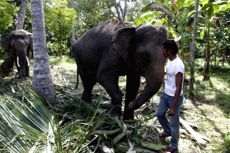 Photo taken on Feb. 7, 2015 shows Sumatran elephants (Elephas Maximus Sumatranus) at the Elephant Conservation Center in Aceh, Indonesia. World Wildlife Fund (WWF) ...
