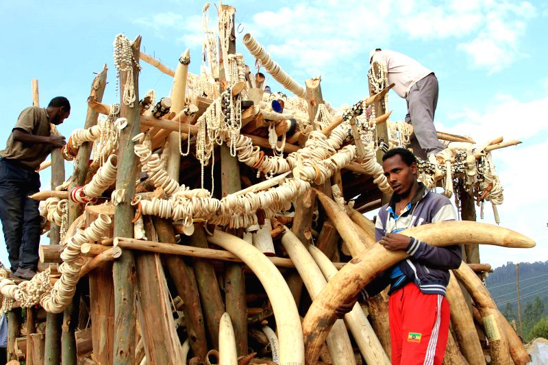 Local staff workers put the illegal elephant tusks, ivory trinkets and carvings on a wooden pyre for burning in Addis Ababa, capital of Ethiopia, March 20, ...