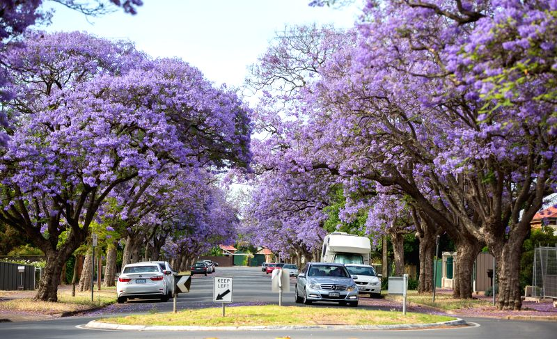 Purple flowers of Jacaranda blossom in Adelaide, South Australia, Nov. 21, 2014. Jacaranda is a sub-tropical tree native in south-central America. It is widely planted in other parts of the