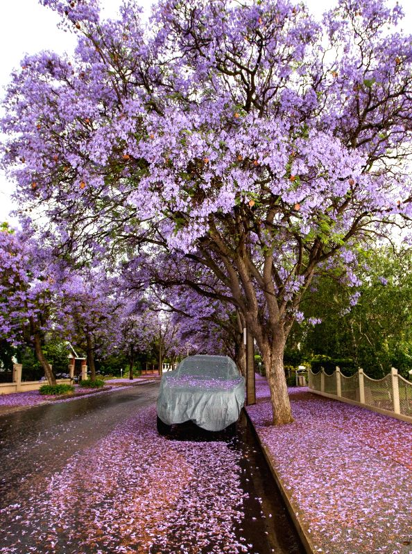 Streets are covered with fallen Jacaranda flowers in Adelaide, South Australia, Nov. 22, 2014. Jacaranda is a sub-tropical tree native to south-central America. It is widely planted in ...