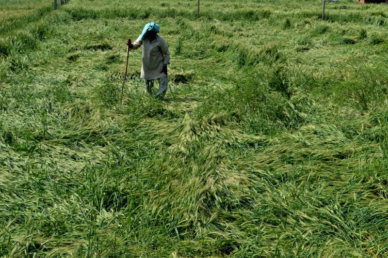 A farmer takes stock of the damage caused by the recent hail storms to his crops near Agra on March 16, 2015. Three farmers died of a shock after seeing their damaged crops in Uttar Pradesh.