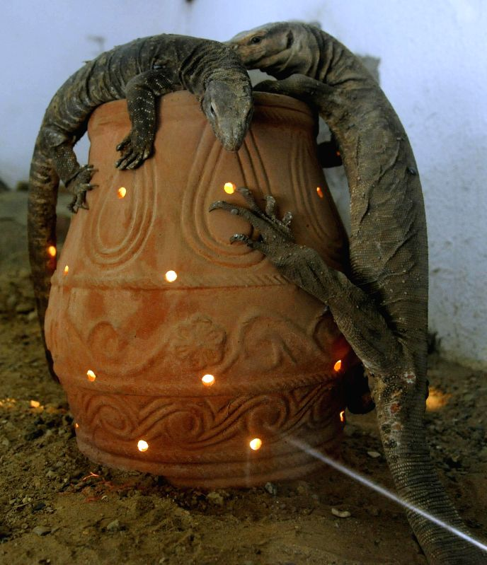 Monitor lizards stick to a lantern at Kankaria Zoo as temperature begins to dip in Ahmedabad, on Dec 1, 2014.