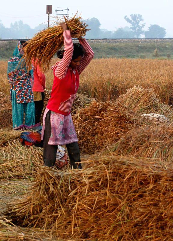 A woman thrashes a paddy sheaf in a field near Allahabad on Nov 18, 2014.