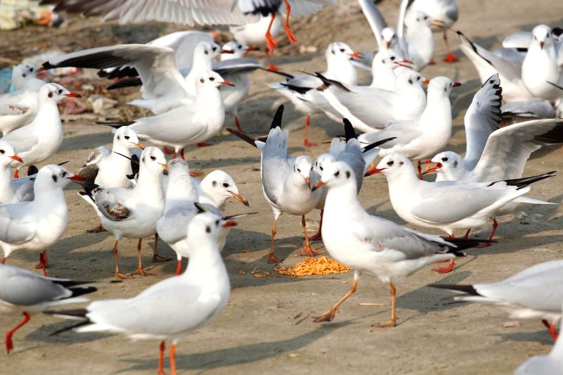 Seagulls on the banks of the Ganga river in Allahabad, on Nov 25, 2014.