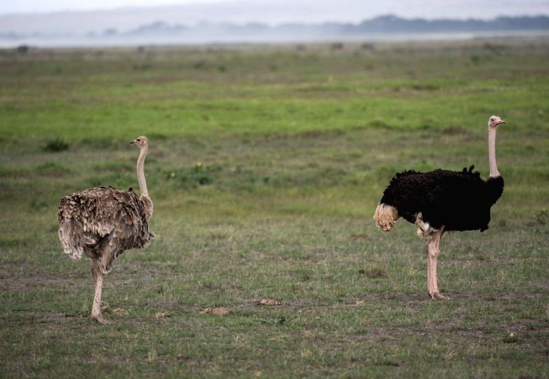 AMBOSELI (KENYA), May 29, 2017 Ostriches are seen in Amboseli National Park, Kenya, May 27, 2017. Amboseli National Park, which is located in southern Kenya, is a unique ecosystem that is ...