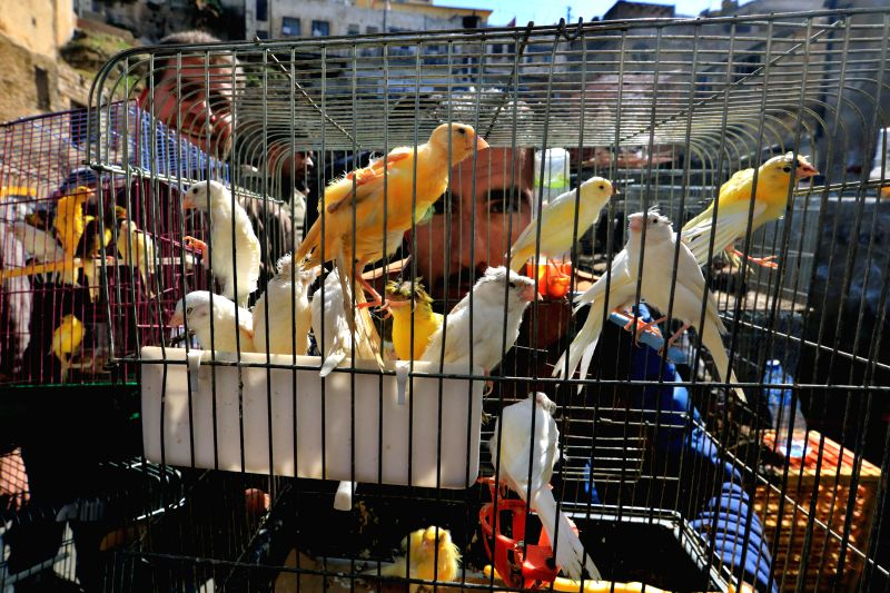 AMMAN, Feb. 2, 2018 - Birds are displayed in cages at a weekly pet market in downtown Amman, Jordan, on Feb. 2, 2018. Hundreds of birds lovers and merchants gather every Friday to trade birds as well ... - Abu Ghosh
