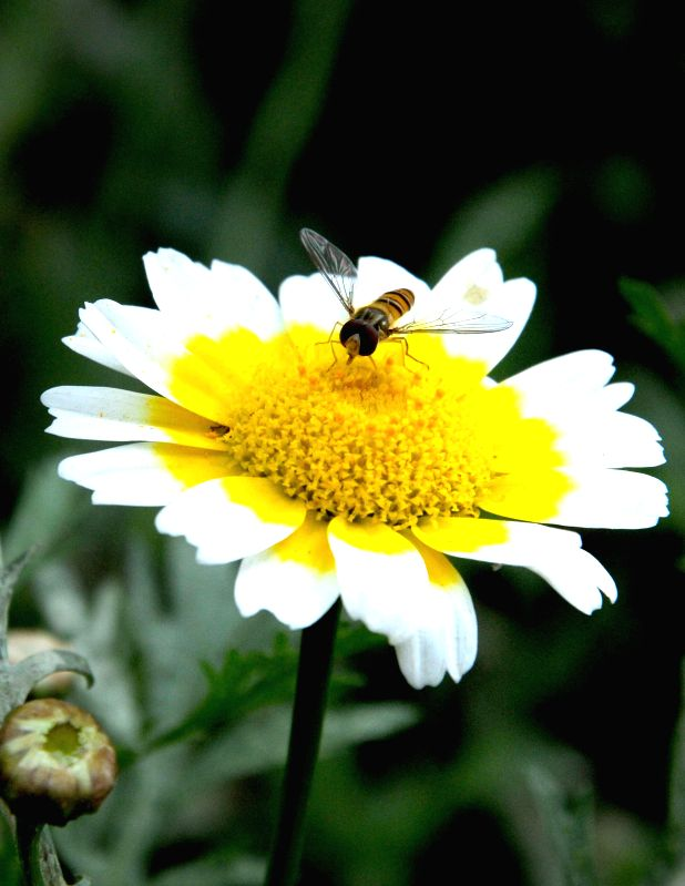 A bee busy collecting nectar from a flower, in Amritsar on April 2, 2015.