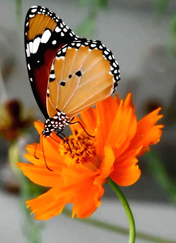 A butterfly sucks nectar from a flower at a garden in Amritsar on Nov 19, 2014.