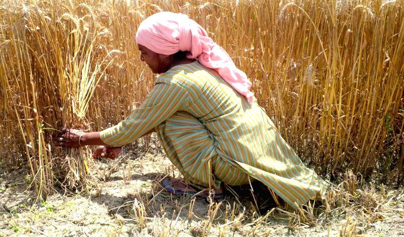 A farmer harvests wheat in a field on the outskirts of Amritsar on April 23, 2015. There has been delayed harvesting of the wheat due to inclement weather.