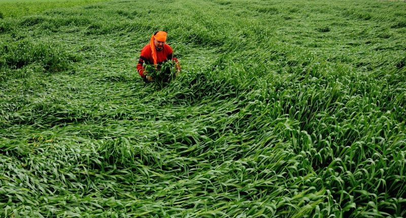 A farmer takes stock of the damage caused to his crops by the recent storms in the outskirts of Amritsar on March 2, 2015.