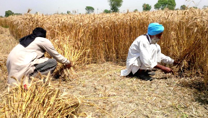 Farmers harvest wheat in a field on the outskirts of Amritsar on April 23, 2015. There has been delayed harvesting of the wheat due to inclement weather.