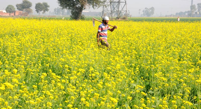 Mustard fields bloom in Punjab; on Nov 26, 2014.