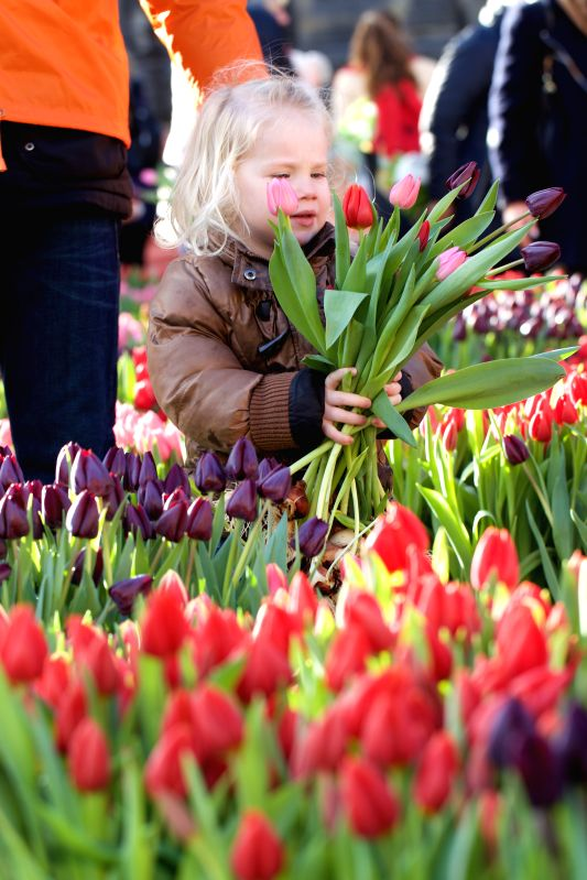A girl holds tulips during the Netherlands' National Tulip Day in Amsterdam, capital of the Netherlands, on Jan. 17, 2015. The Netherlands' National Tulip Day was