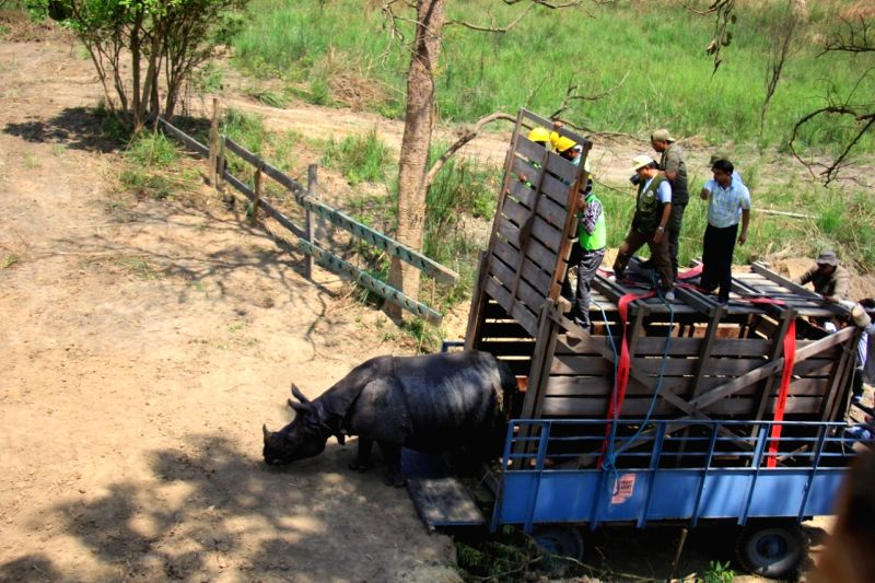 An Indian rhino steps out of the vehicle that transported it to its new home. One male and three female rhinos has been relocated to a new enclosure in a key conservation step.
