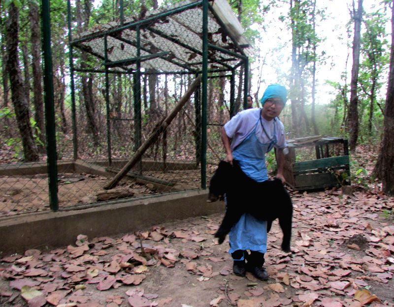 An orphaned Asiatic black bear being taken to be fitted with radio-collars ahead of releasing him in Manas National Park of Assam on May 1, 2014.
