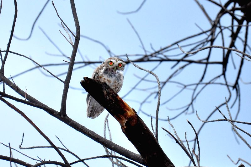 An owl perched high on a tree in Jaipur on July 18, 2014.