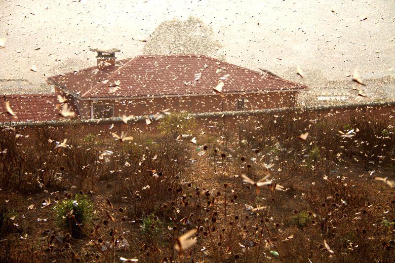 Locust passes through Antananarivo, capital of Madagascar, Aug. 28, 2014. A locust invasion took place in Antananarivo on Thursday.