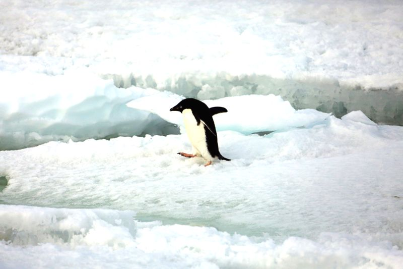 Photo taken on Dec. 26, 2014 shows a penguin on the ice near China's Zhongshan Antarctic Station in Antarctica.