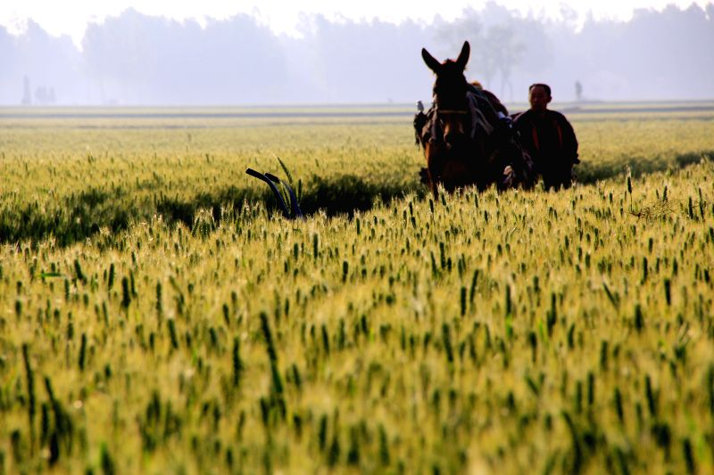 A farmer drives a horse amid wheat fields in Neihuang County of Anyang City, central China's Henan Province, May 13, 2014.