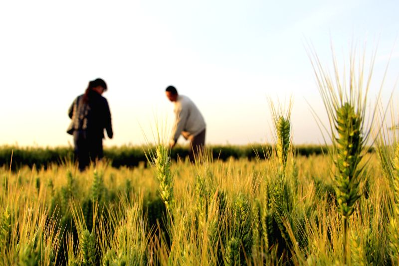 Farmers work in wheat fields in Neihuang County of Anyang City, central China's Henan Province, May 13, 2014.