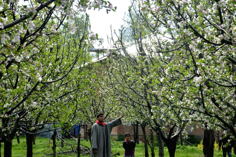Apple trees in an orchard in Anantnag of Jammu and Kashmir. The apple production may get negatively affected due to the unseasonal rain and hail storm that hit the state recently.