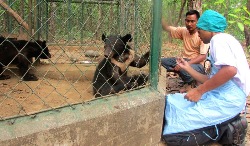 Asiatic black bear cubs being monitored by Animal Welfare (IFAW) and Wildlife Trust of India (WTI) officials  in Manas National Park of Assam on May 1, 2014.