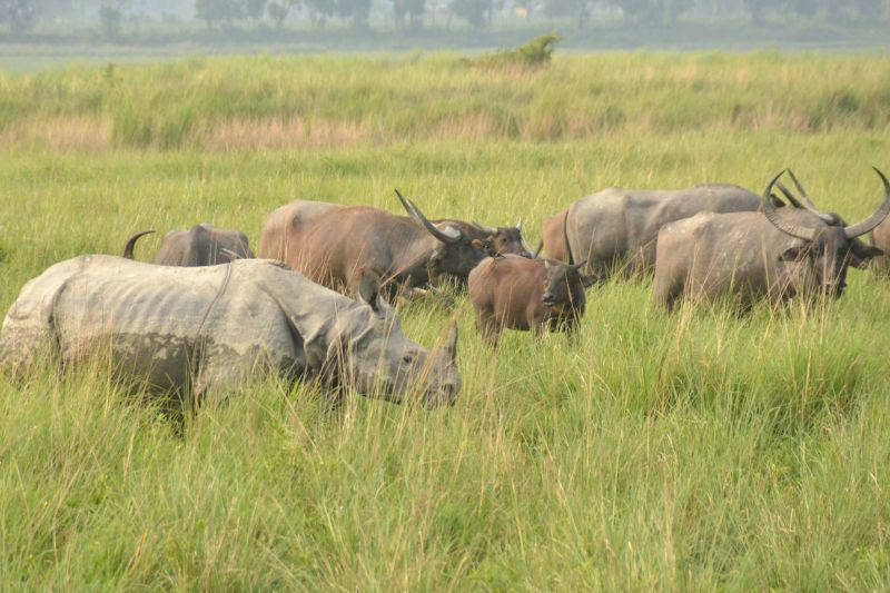 A rhinoceros grazes with a herd of wild buffaloes in Kaziranga National Park, Assam.