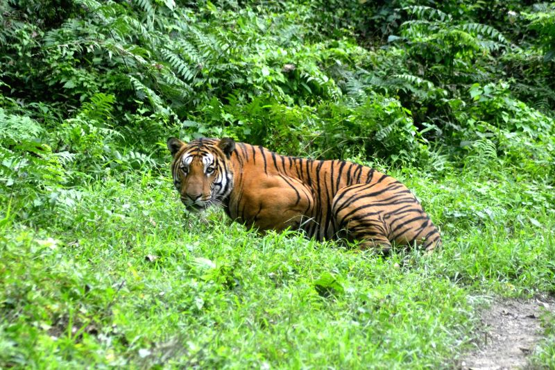 A Royal Bengal Tiger at Bagari Ranga of Kaziranga National Park in Assam on Dec 21, 2014.