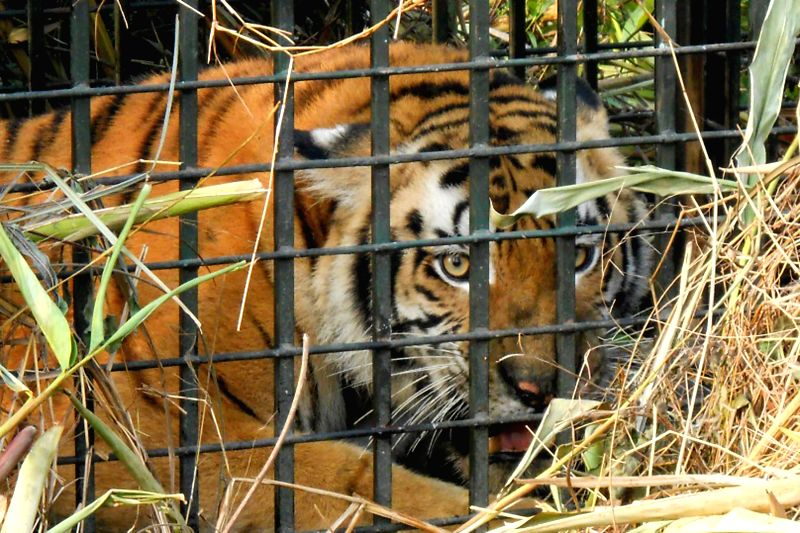 A Royal Bengal tigress that was caught by forest officials at Mohpara viilage in Kaziranga, Assam on Feb. 7, 2015. The tigress had caused a menace in the area since last one month.