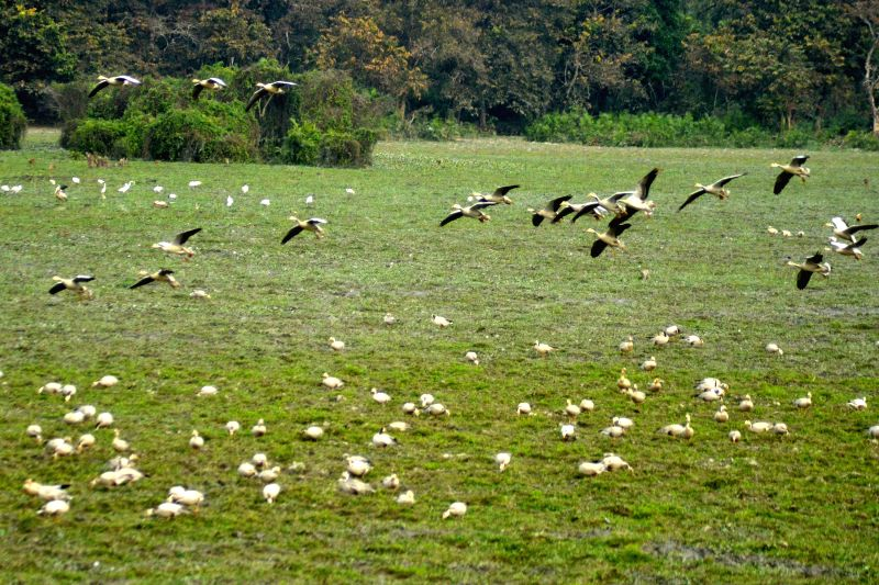 Migratory bird arrive at Kaziranga National Park in Assam, on Dec 21, 2014.