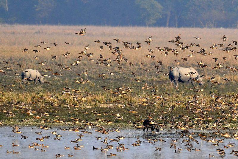 One-horned rhinoceroses graze at Pobitora Wildlife Sanctuary, in Assam.