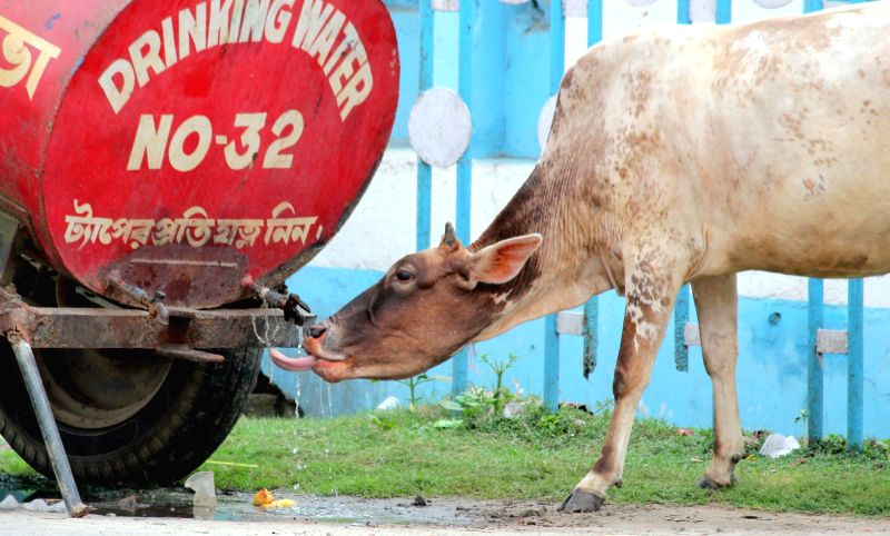 A cow tries to drink water from a tanker in Balurghat of West Bengal's South Dinajpur district on June 10, 2015.