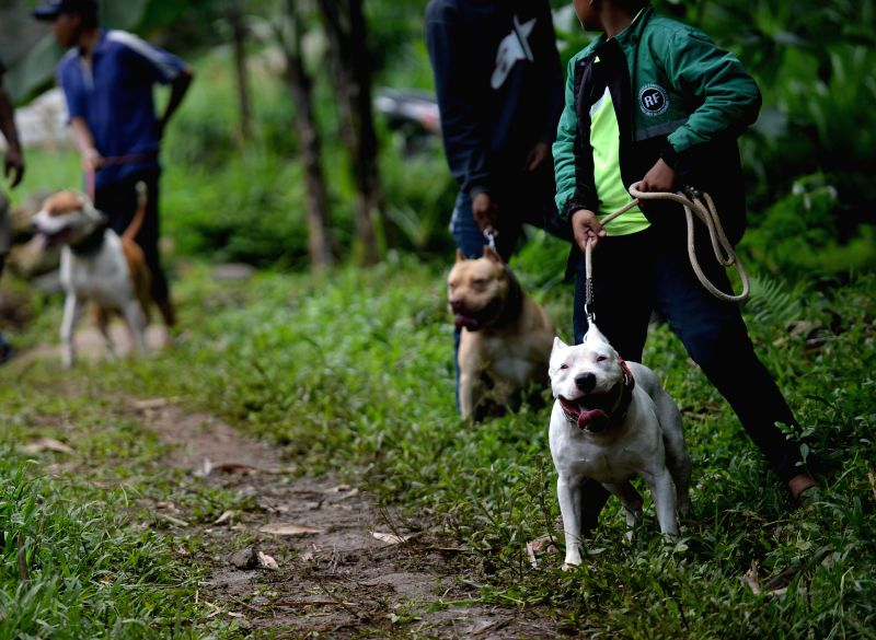 "BANDUNG, April 30, 2017 - People stand with their dogs before a traditional battle which local people call it ""Adu Bagong"" in Bandung, Indonesia, April 30, 2017. Adu bagong is a traditional ..."